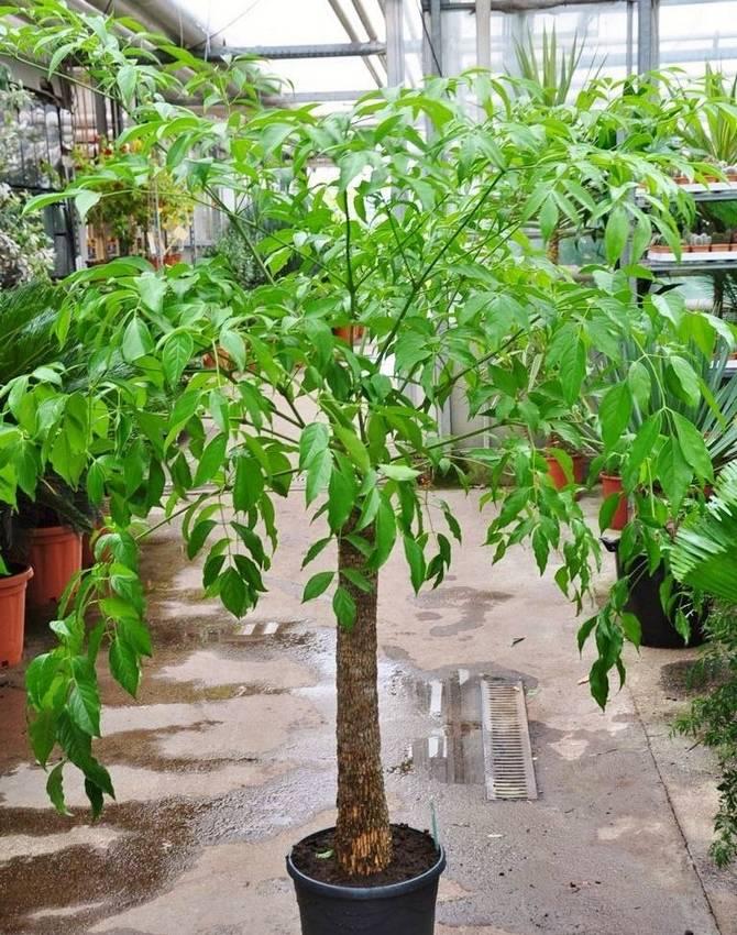 Гетеропанакс будет полноценно развиваться только при высокой влажности воздуха.