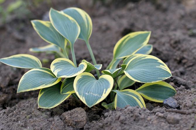 Как посадить растение хоста