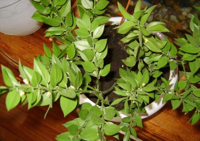 Иглица является неприхотливым растением, в том числе к составу почвы.