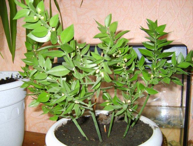 Влажность окружающего воздуха не является решающим фактором для роста, развития и цветения иглицы.