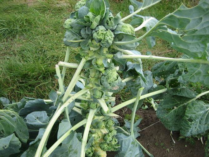 Уход за брюссельской капустой в период вегетации