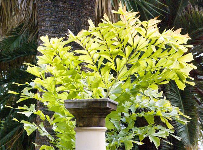 Пальма кариота – уход в домашних условиях. Выращивание кариоты, пересадка и размножение. Описание, виды. Фото