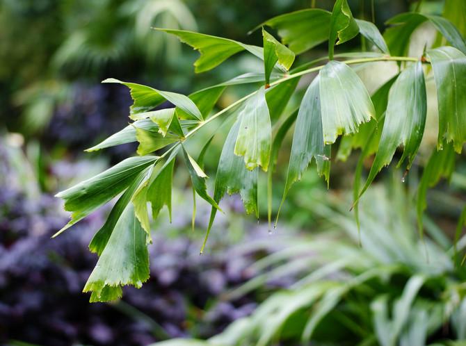 Виды пальмы кариоты