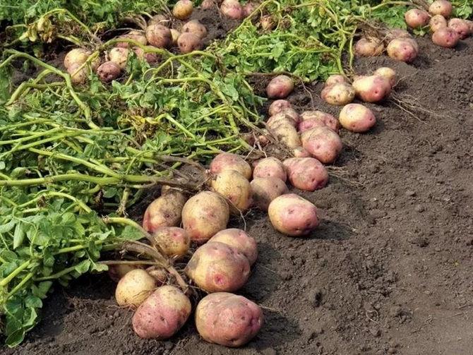 К сбору урожая также нужна небольшая подготовительная работа.