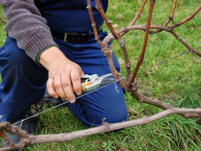 Как правильно обрезать виноград Кеша?