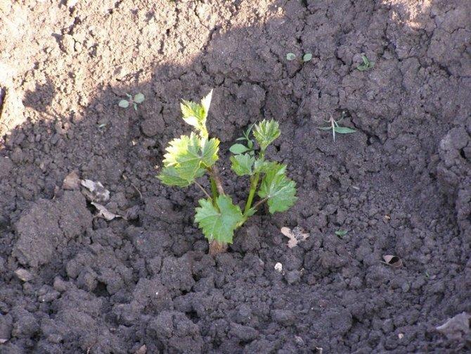 Посадка и выращивание винограда Кеша