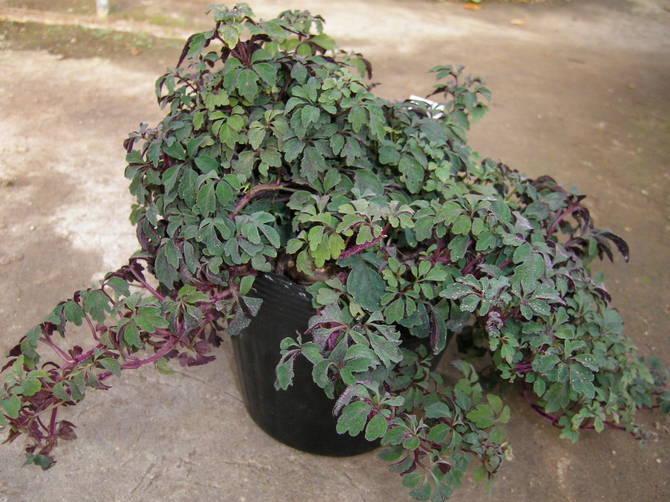 Микания хорошо растет только в помещении с высокой влажностью воздуха.