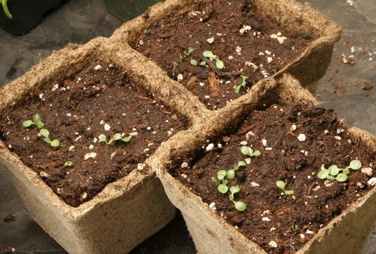 Выращивание рудбекии из семян
