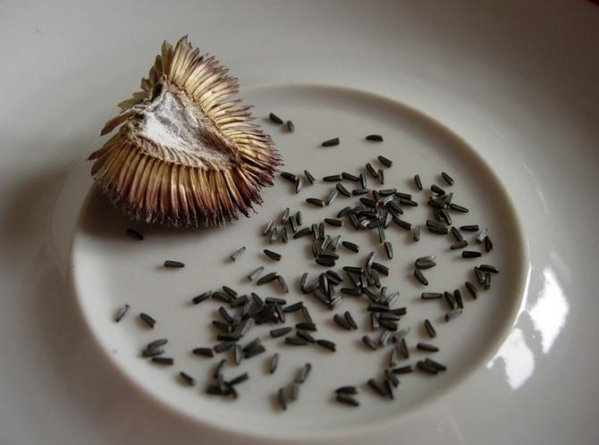 Выращивание рудбекии многолетней из семян в открытом грунте