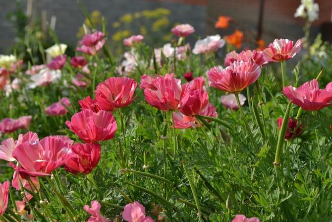 Среднерослые однолетние цветы