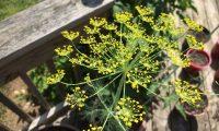 Укроп – посадка и уход в открытом грунте. Выращивание укропа зимой и весной. Советы, видео