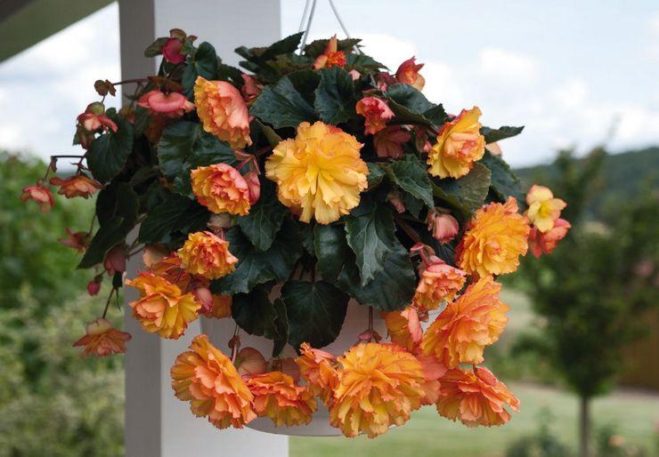 Гибридные сорта декоративно-цветущих бегоний
