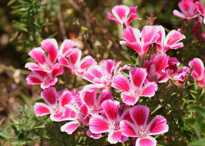Цветы кларкия – посадка и уход в открытом грунте. Выращивание кларкии из семян. Описание. Фото