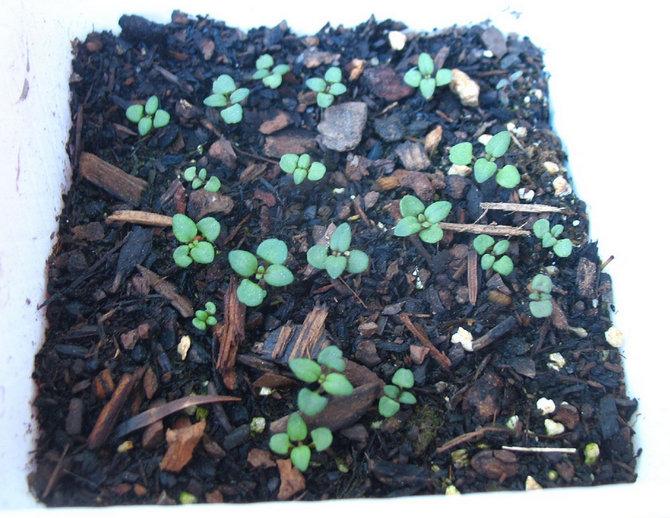 Размножение и выращивание рассады кларкии
