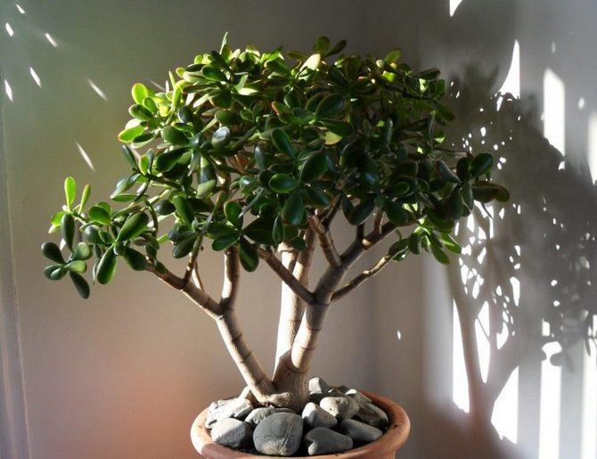 Денежное дерево или крассула