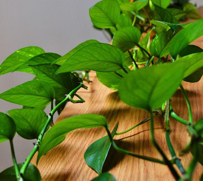Вьющееся растение, которое не выносит прямых солнечных лучей и легко подвергается ожогам