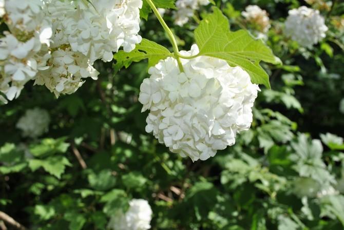 Калина Бульденеж – посадка и выращивание. Размножение и уход за декоративной калиной Бульденеж