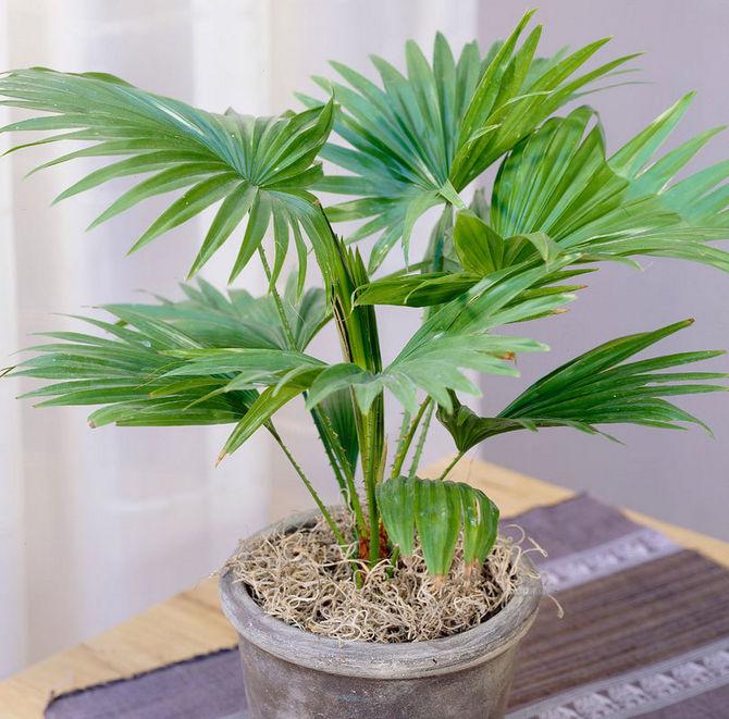 Пересадка взрослой пальмы ливистона проводится один раз в 3-5 лет