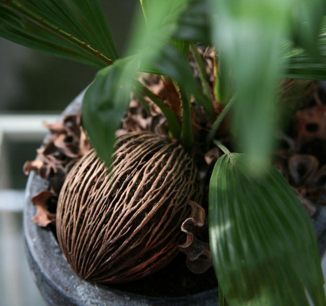 Для выращивания ливистоны обязателен дренажный слой из керамзита или мелкого гравия