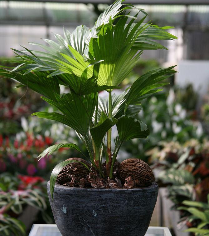Ливистона еще и влаголюбивое растение, которому жизненно необходимы ежедневные опрыскивания