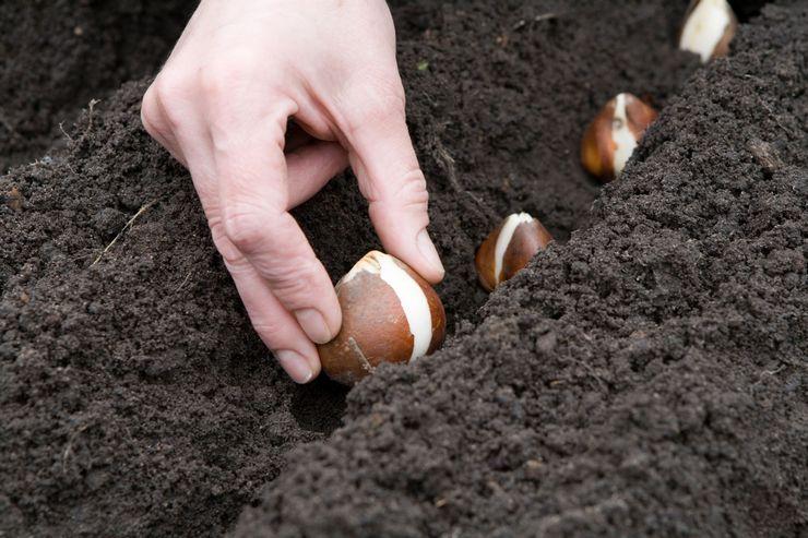 Правила посадки луковичных цветов в открытом грунте