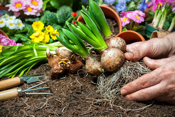 Преимущества осенней посадки луковичных цветов
