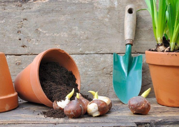 Точные сроки посадки разных луковичных растений