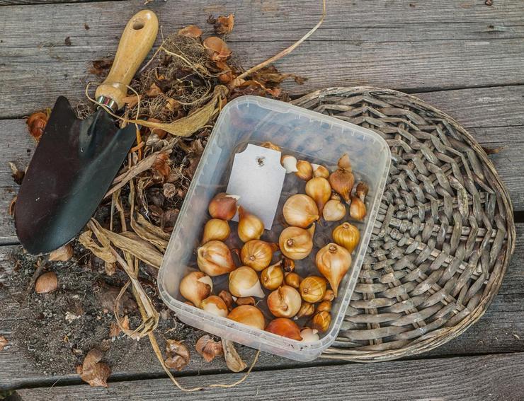 Предпосадочный осмотр луковиц