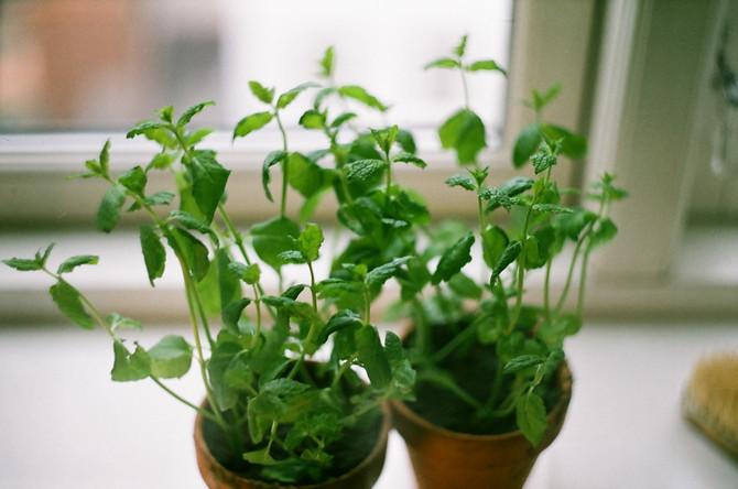 Выращивание мяты