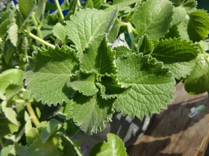 Плектрантус растет очень быстро и расходует все свои силы на наращивание листовой части.