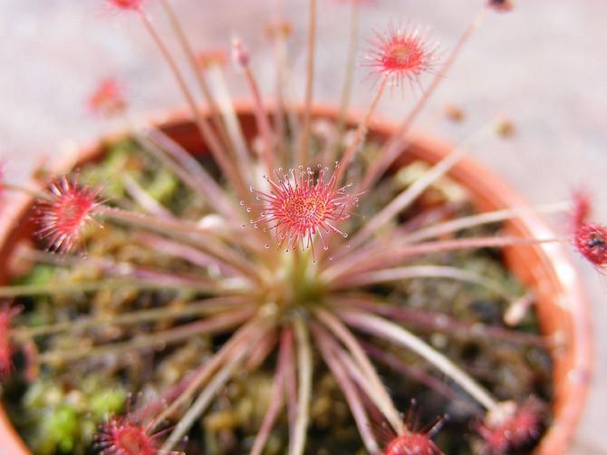 В помещении, где содержится росянка, необходимо поддерживать высокий уровень влажности (около 70%).