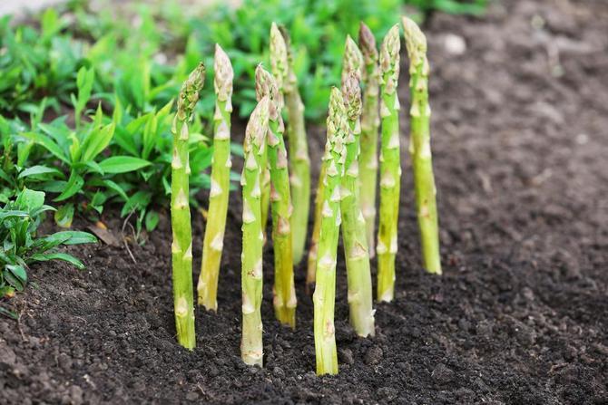 Как осуществляется выращивание спаржи и уход за ней. Фото, видео инструкция