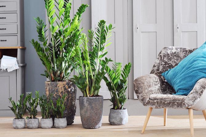 Замиокулькасу необходимо умеренное освещение и редкие поливы