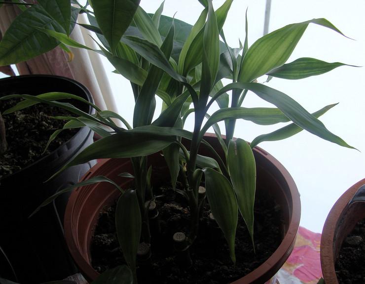 Выращивание бамбука в грунте