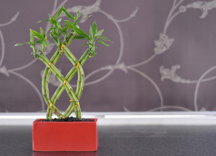 Комнатный бамбук – уход в домашних условиях. Выращивание бамбука в воде и грунте, размножение. Описание. Фото