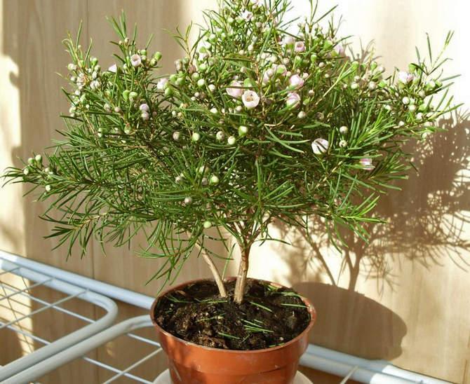 В составе почвенной смеси для выращивания хамелациума должны быть перегной, торф, мох и песок.