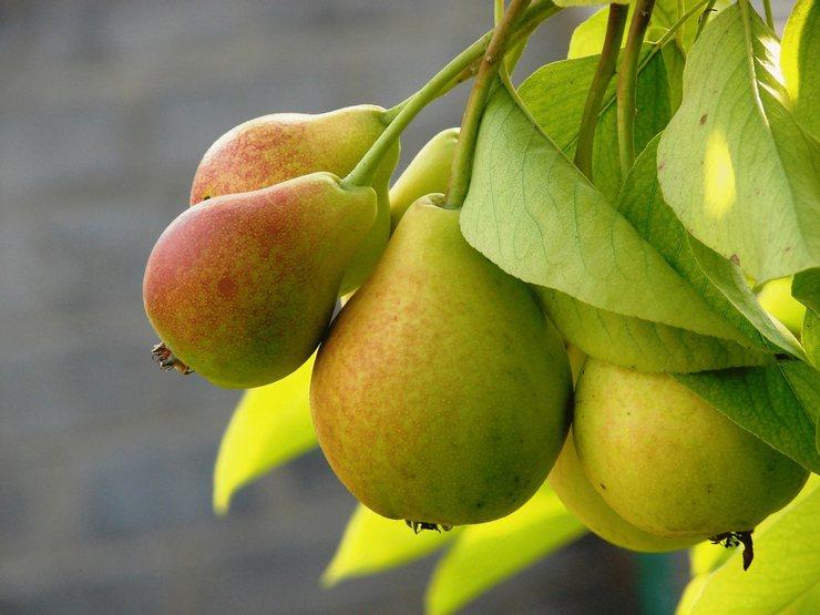 Основные зимние сорта груш для сада. Описания, виды, фото