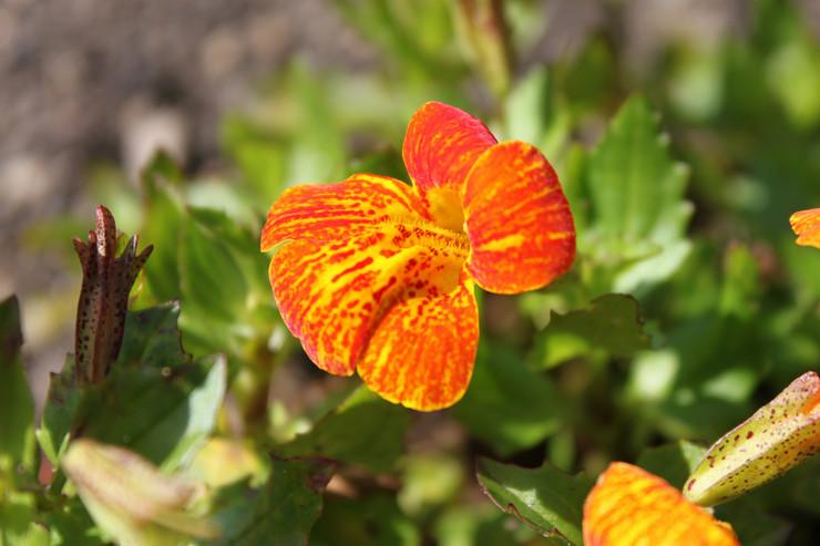 Мимулюс или губастик – посадка и уход в открытом грунте. Выращивание мимулюса из семян в саду и домашних условиях. Описание, виды. Фото