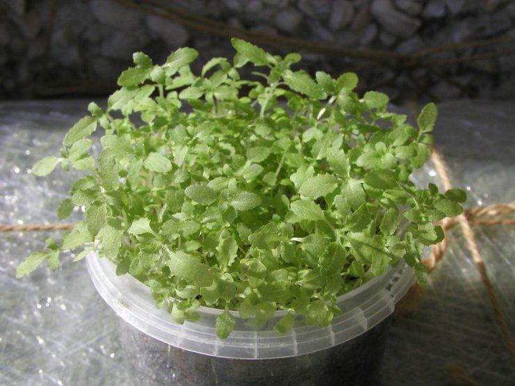 Посев и выращивание рассады из семян