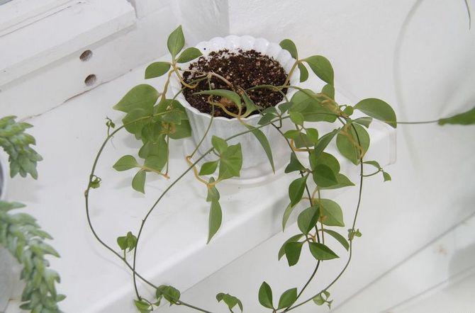 Неоальсомитра нуждается в регулярном внесении удобрения в весенне-летний период.