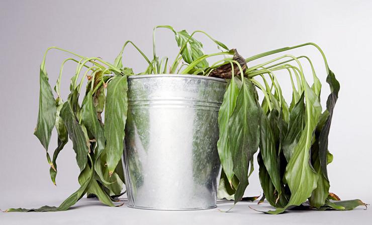 Почему теменеют листья у спатифиллума