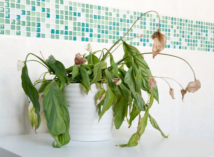 Причины пожелтения листьев спатифиллума