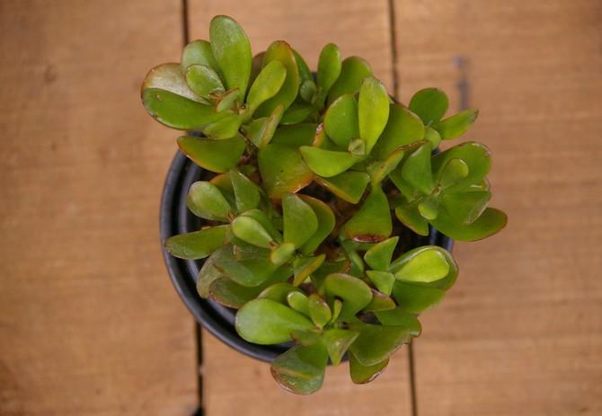 Толстянка – быстрорастущее растение, которому необходима своевременная пересадка по мере увеличения его в росте и объемах.