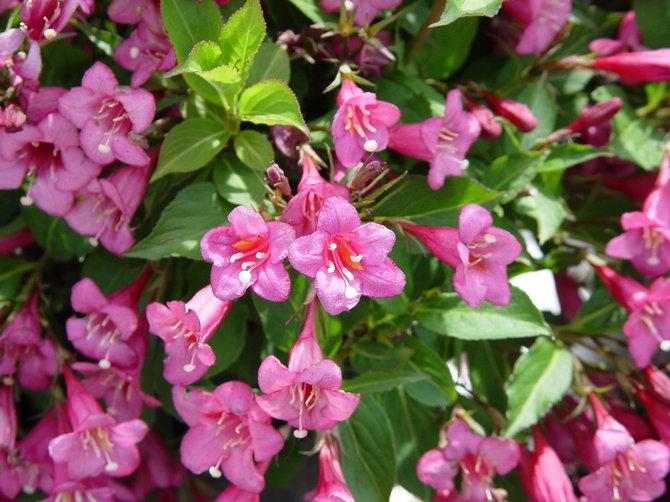 Цветы вейгела – посадка и уход в открытом грунте. Выращивание вейгелы, способы размножения. Описание. Фото