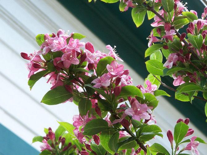 Весной проводят санитарную обрезку кустарника – срезают все сухие и поломанные веточки.