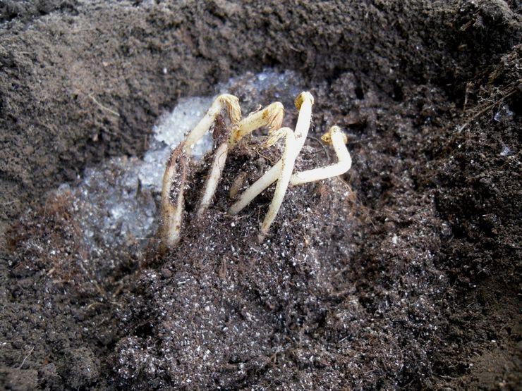 Размножение цветка астильбы
