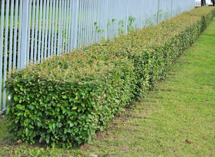 Обрезка и формирование изгороди