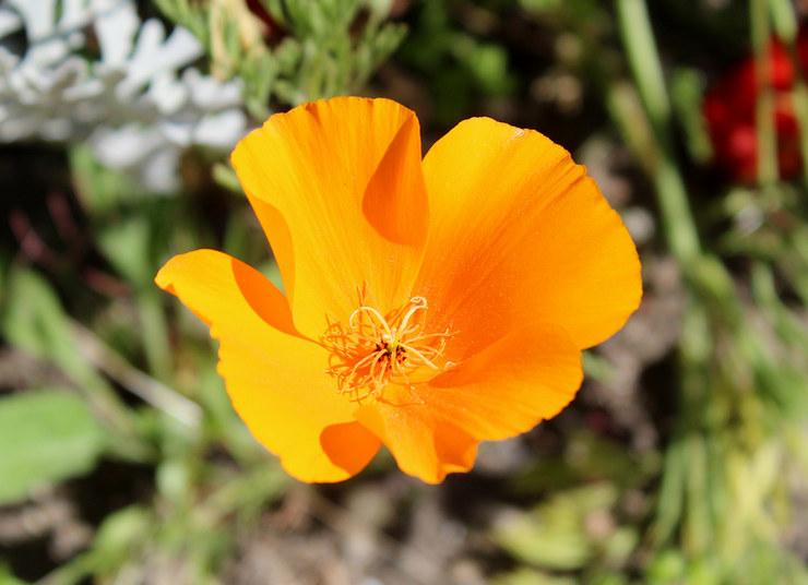 Эшшольция – посадка и уход в открытом грунте. Выращивание цветка эшшольции в саду, способы размножения. Описание. Фото