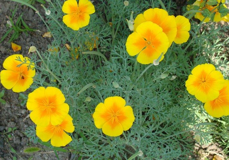 Эшшольция предпочитает расти на солнечном участке, с обильным и длительным освещением