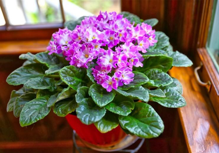 Почему не цветут фиалки? Цветение фиалки: когда начинается и какой нужен уход
